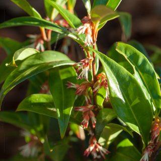 Månadens växt - Sarcococca hookeriana 'Winter Gem' - sötbuxbom