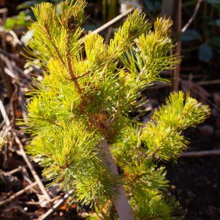 Pinus parviflora 'Goldilocks' - silvertall