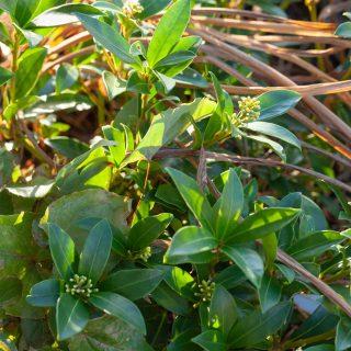 Vintergröna växter - Skimmia 'Lillerød'