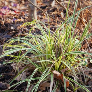 Carex morrowii 'Vanilla Ice Cream'