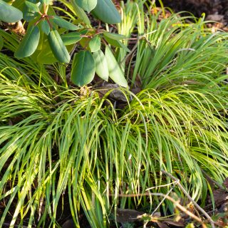 Vintergröna växter - Acorus gramineus 'Ogon'