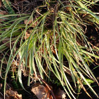 Vintergröna växter - Acorus gramineus 'Variegatus'