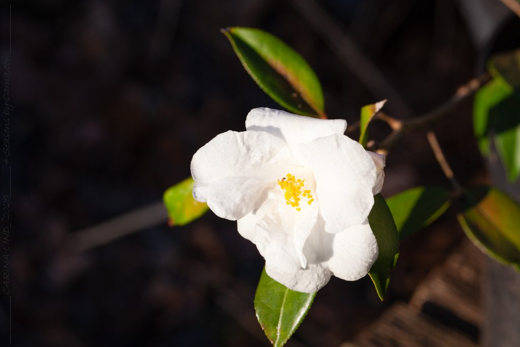 Kamelia - Camellia 'Cornish Snow'