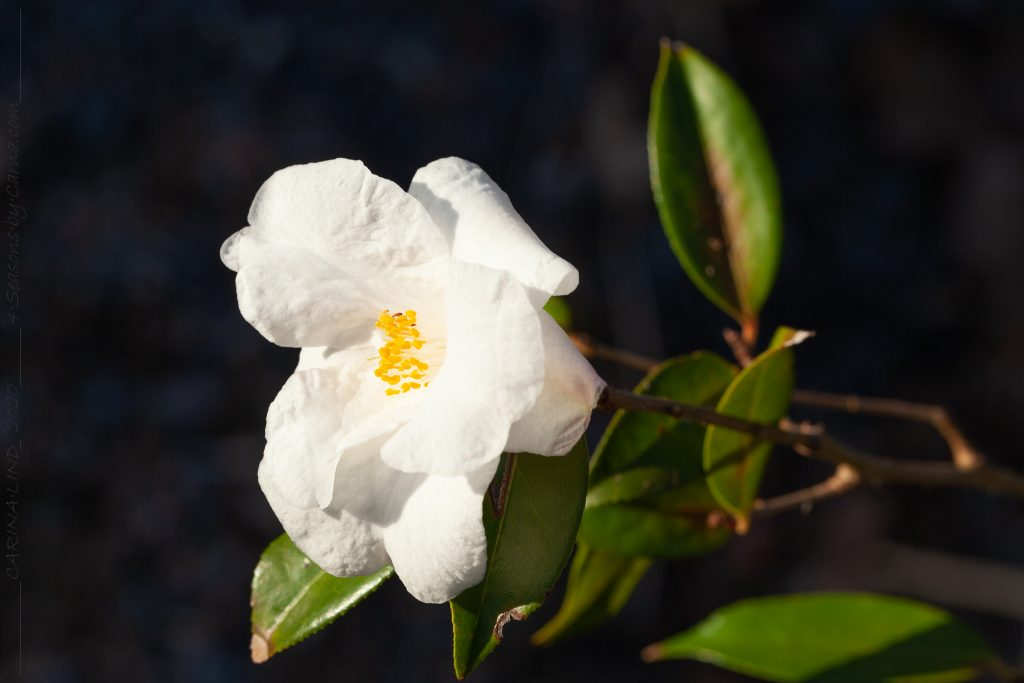 Camellia 'Cornish Snow' - kamelia