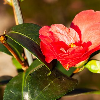 Kamelia - Camellia 'Freedom Bell'