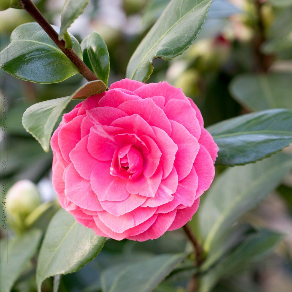 Camellia 'Roze' - kamelia
