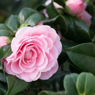 Camellia japonica 'Nuccio's Cameo' - kamelia