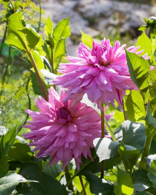 Dahlia - rosa dekorativ