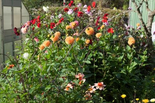 Dahlior i blom