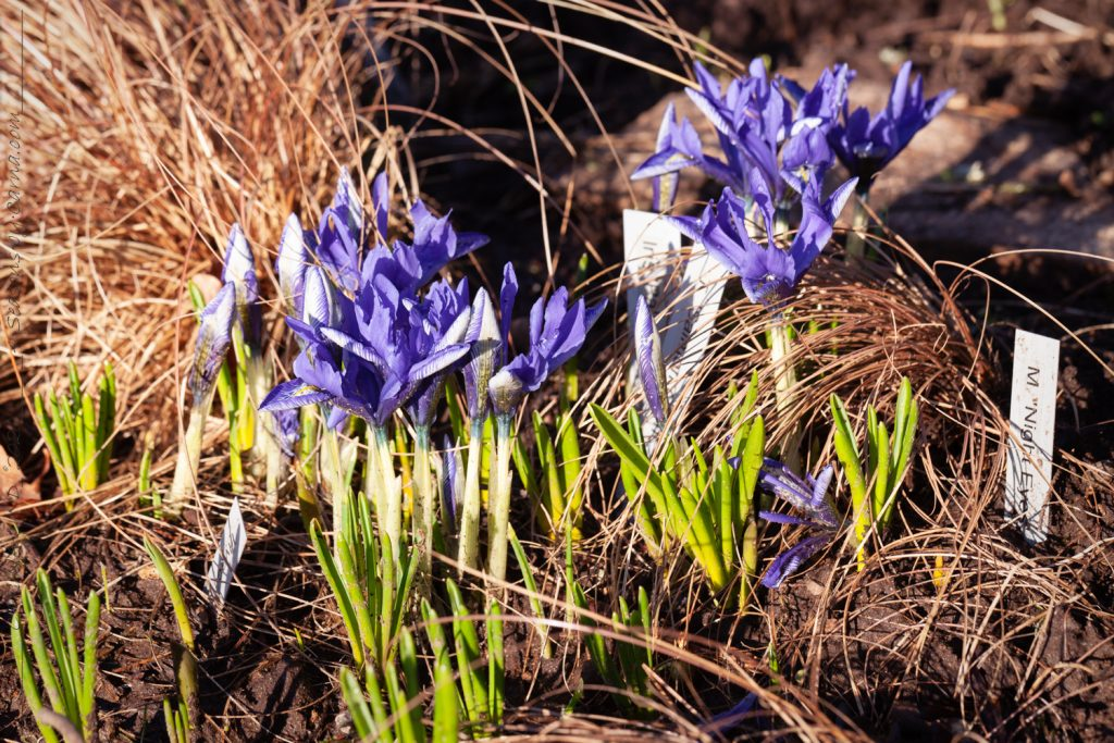 Knölbildande Iris reticulata-grp 'Lady Beatrix Stanley' - våriris