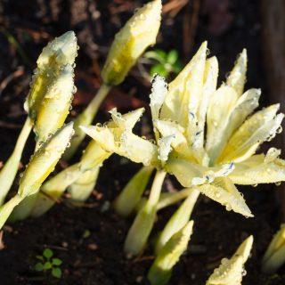 Knölbildnade Iris Reticulata-grp 'Katharine's Gold' - våriris