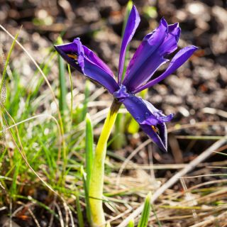 Iris reticulata-grp 'Palm Springs' - våriris