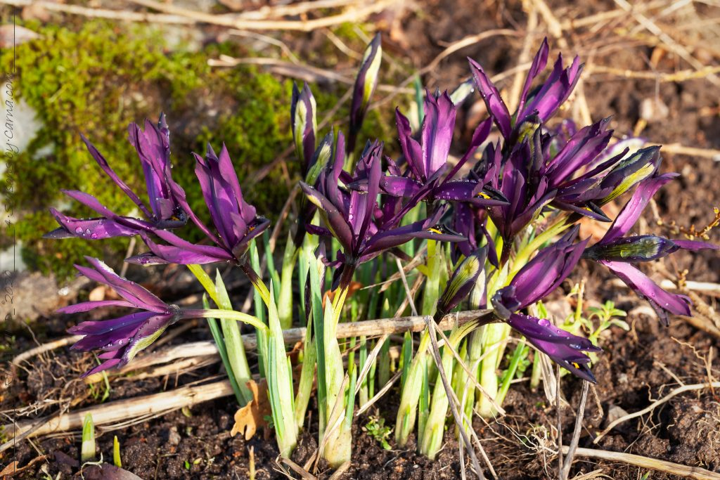 Iris reticulata-grp 'George'