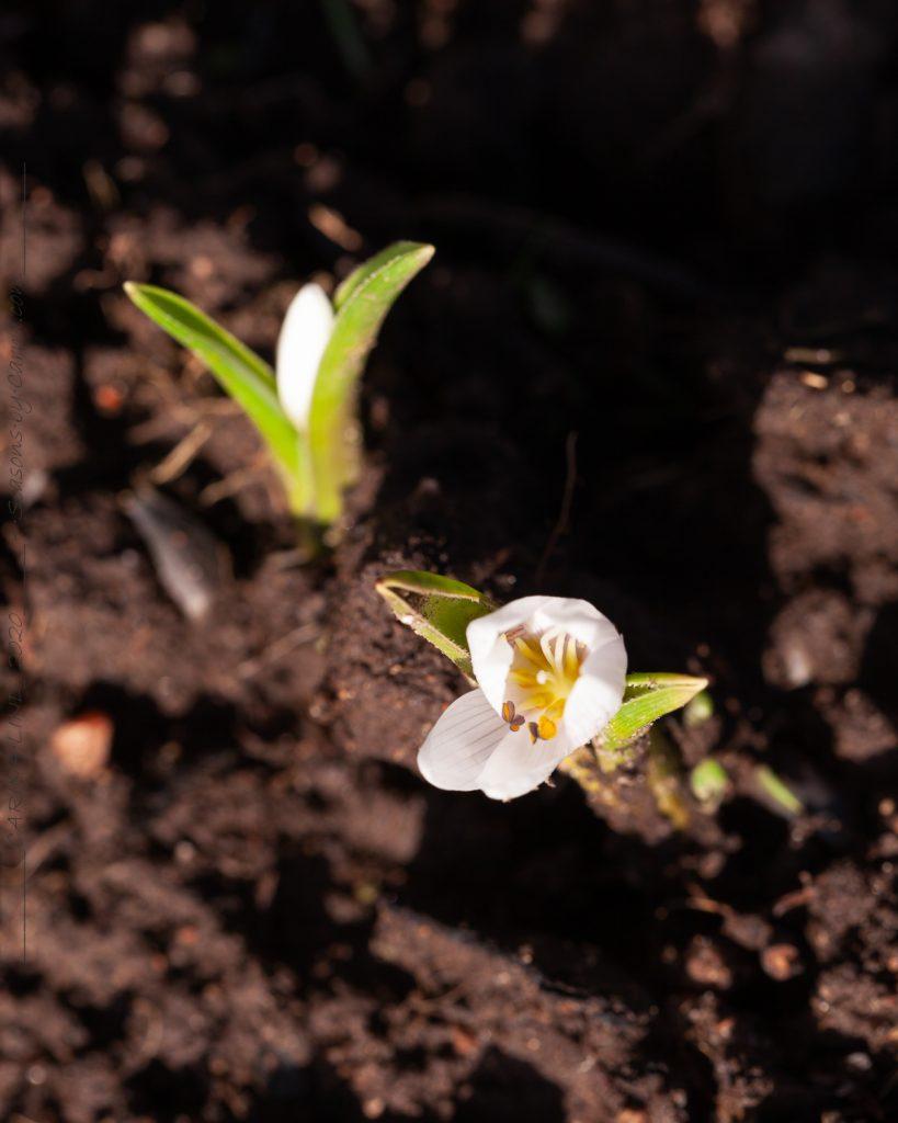 Colchicum hungaricum 'Velebit Star' - ungersk ljusblomma