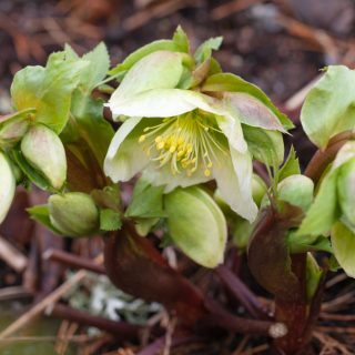 Helleborus x nigercors - rikblommig julros