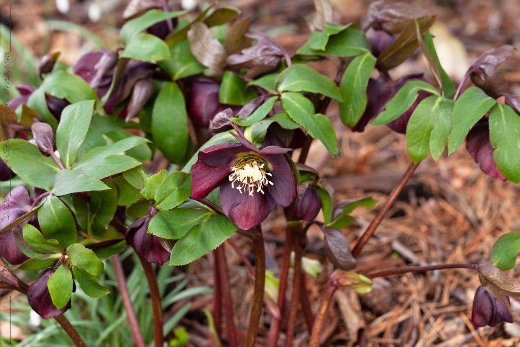 Helleborus x hybr 'Red' large flowered, hybridjulros