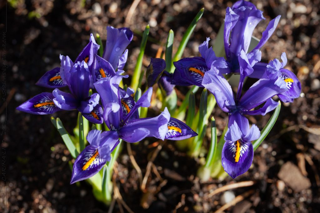 Iris reticulata-grp 'Edward'