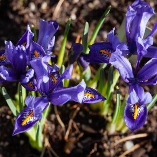 Knölbildande Iris reticulata-grp 'Edward', våriris