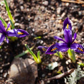 Knölbildande Iris reticulata-grp 'Pixie' - våriris