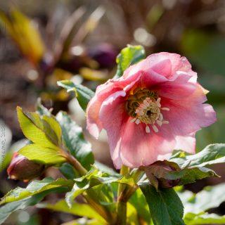 Helleborus x hybr 'Clematis Flowered Pink' - hybridjulros
