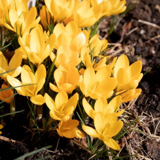 Crocus x stellaris 'Golden Yellow' - gullkrokus