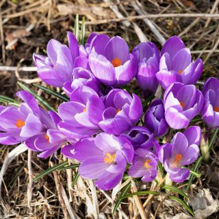 Crocus vernus 'Queen of the Blues'