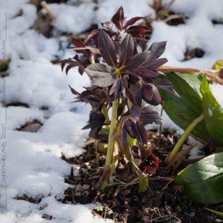 Helleborus x hybr 'Slate Blue', hybridjulros