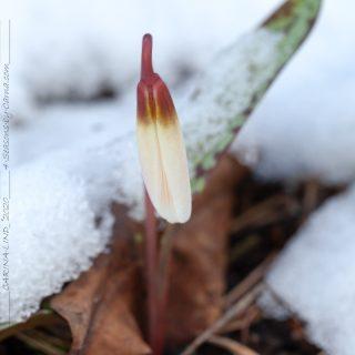 Rysare, Erythronium caucasicum - kaukasisk hundtandslilja
