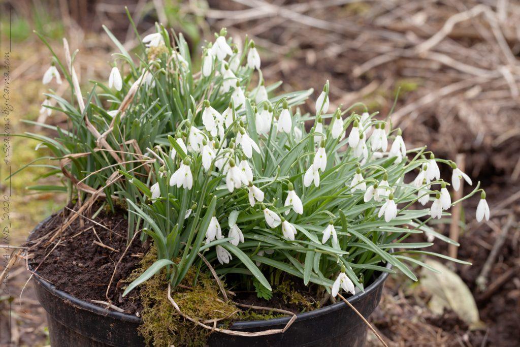 Galanthus nivalis - snödroppe