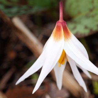 Erythronium caucasicum - kaukasisk hundtandslilja