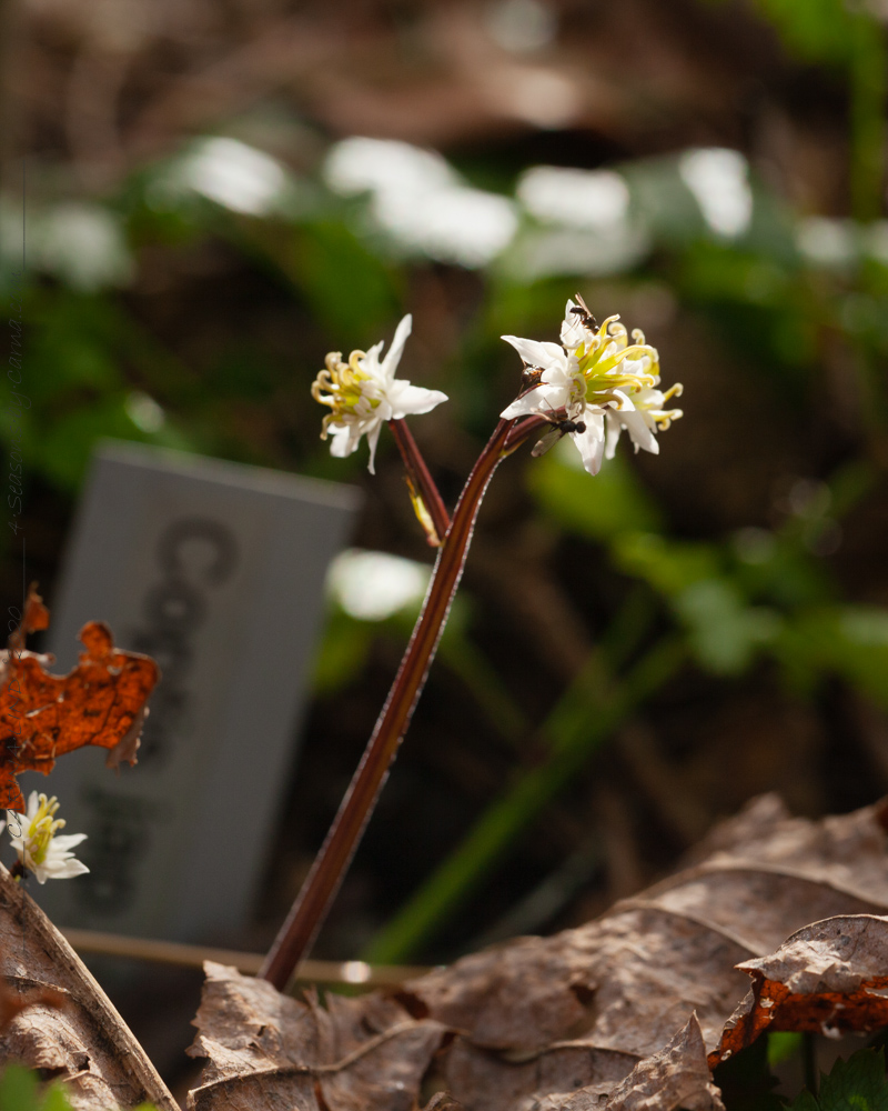 Coptis japonica v. anemonifolia syn. v. dissecta - japankoptis