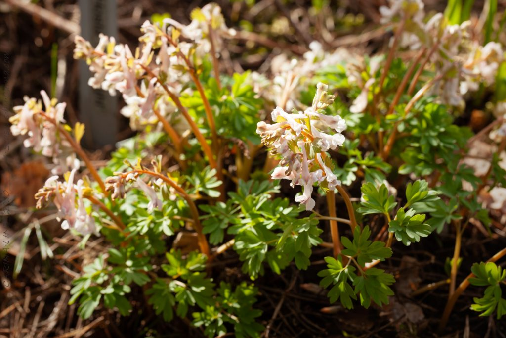 Corydalis solida pink seedling
