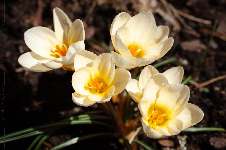 Gödning av lökväxter – hög tid för extra kärlek