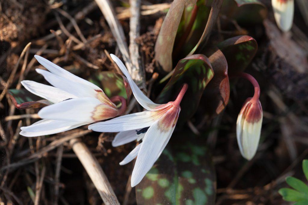 Detaljerna och helheten - Erythronium dens-canis 'Snowflake' - hundtandslilja