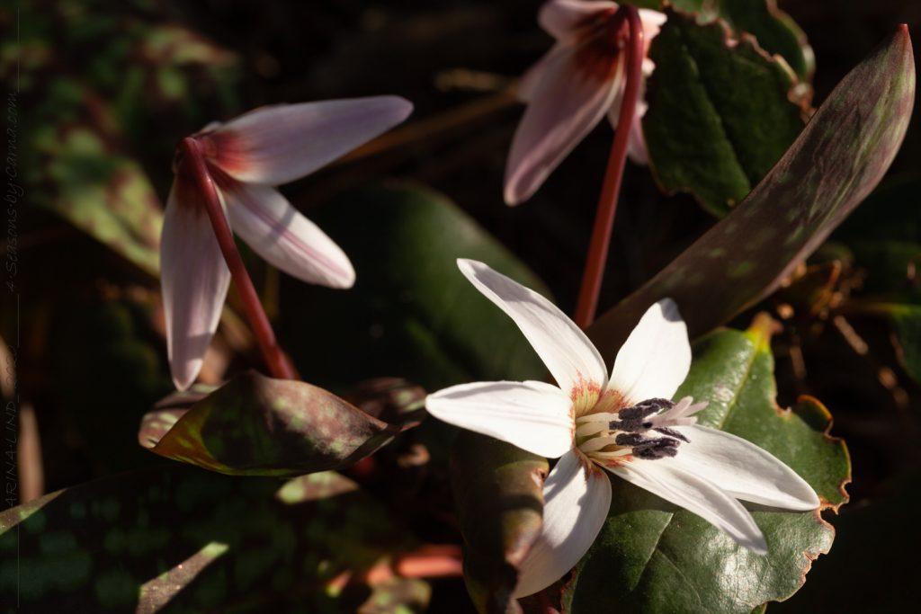 Erythronium dens-canis ssp. niveum - hundtandslilja