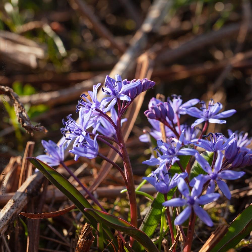 Scilla bifolia - tidig blåstjärna
