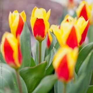 Tulipa kaufmanniana 'Stresa'
