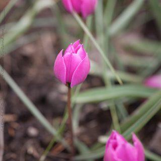 Tulipa humilis 'Helena'
