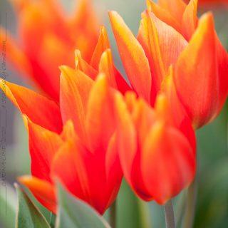 Tulipa praestans 'Bloemenlust'