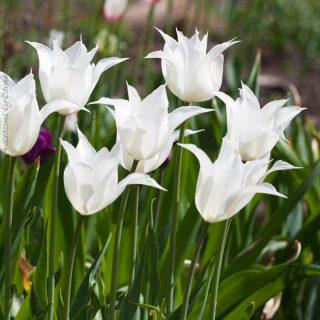 Tulipa 'Sapporo'