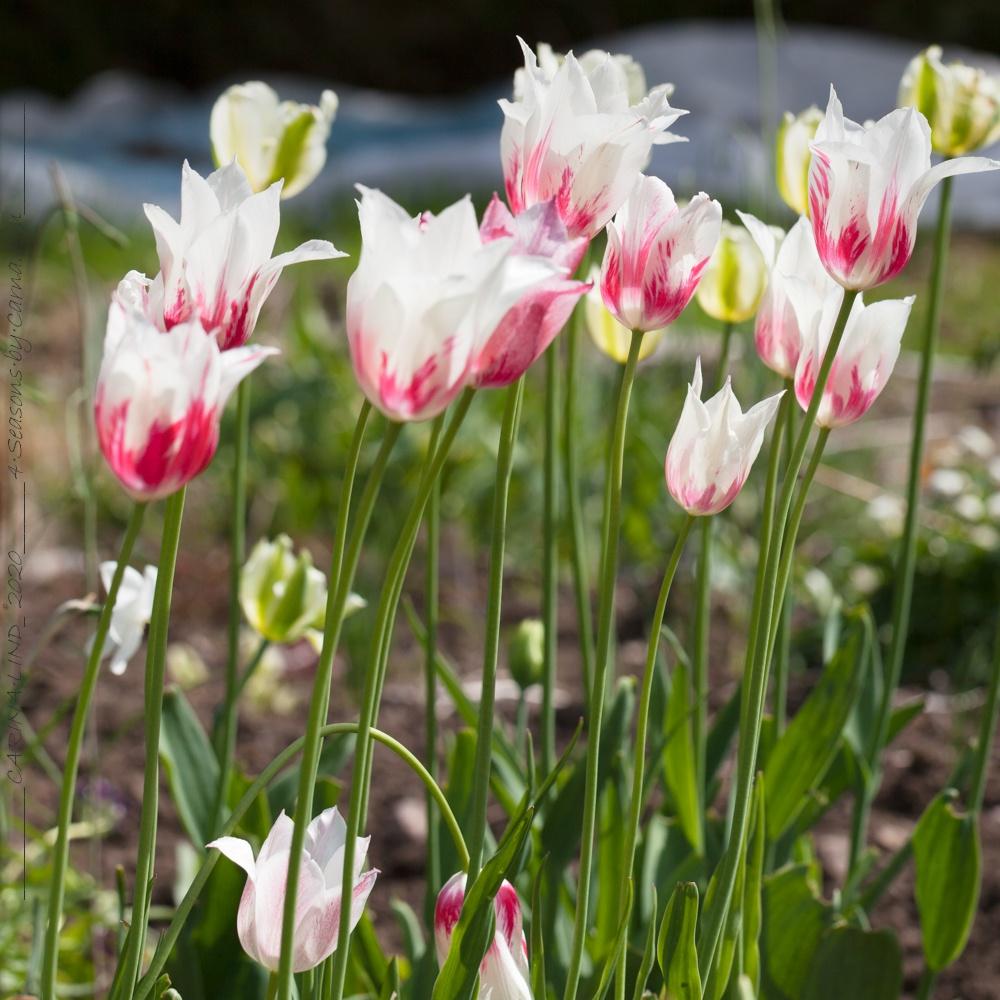 Det-blir-fler - Tulipa 'Marilyn'