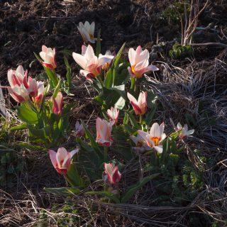 Tulipa kaufmanniana 'Heart's Delight'