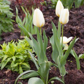 Tulipa fosteriana 'Purissima'