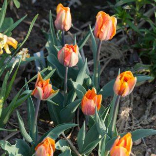 Tulipa 'Princess Irene'