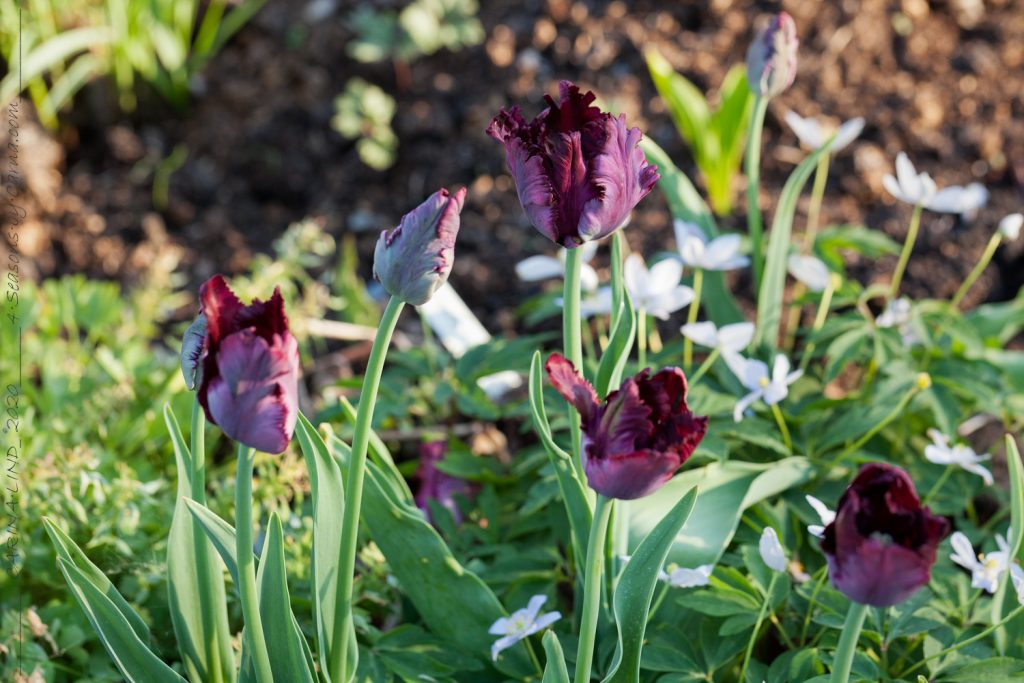 Löktårtor - Tulipa 'Black Parrot'