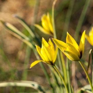 Gödning av lökväxter - Tulipa orphanidea v. flava