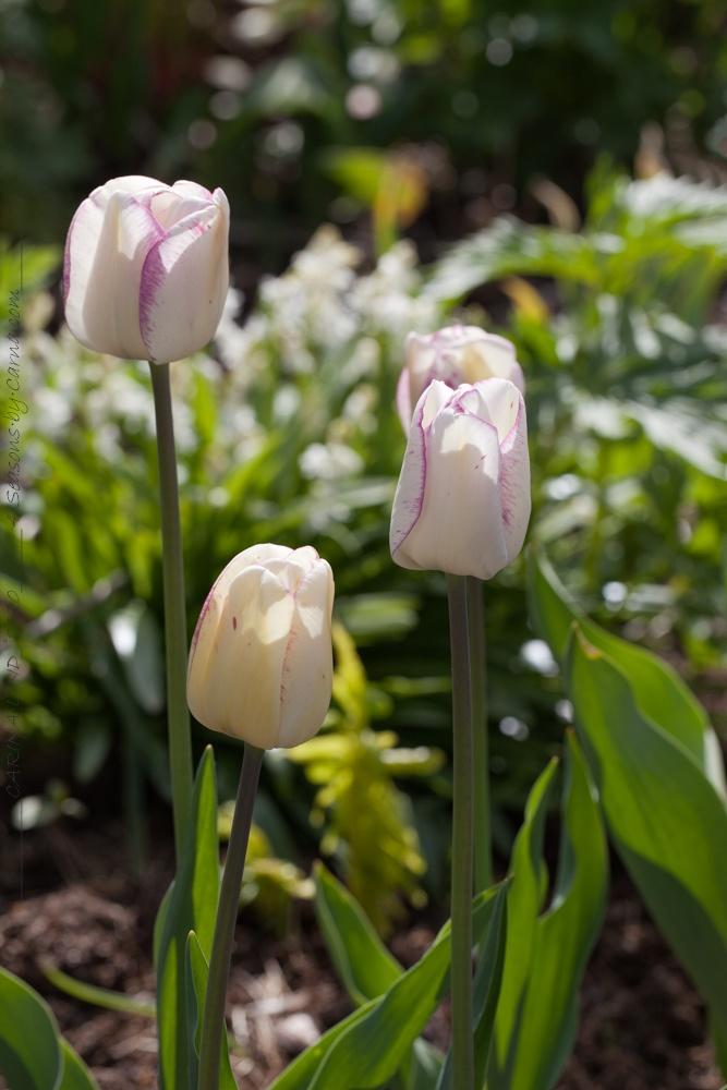Löktårtor - Tulipa 'Shirley'
