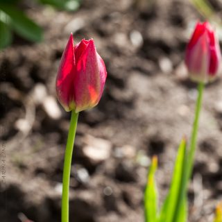 Tulipa agenensis - tulpan
