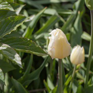 Tulipa 'Blushing Girl'