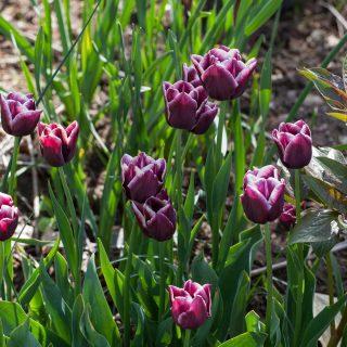 Tulipa 'Jackpot'